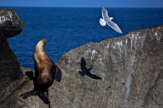 A stellar sea lion challenging a sea gull.