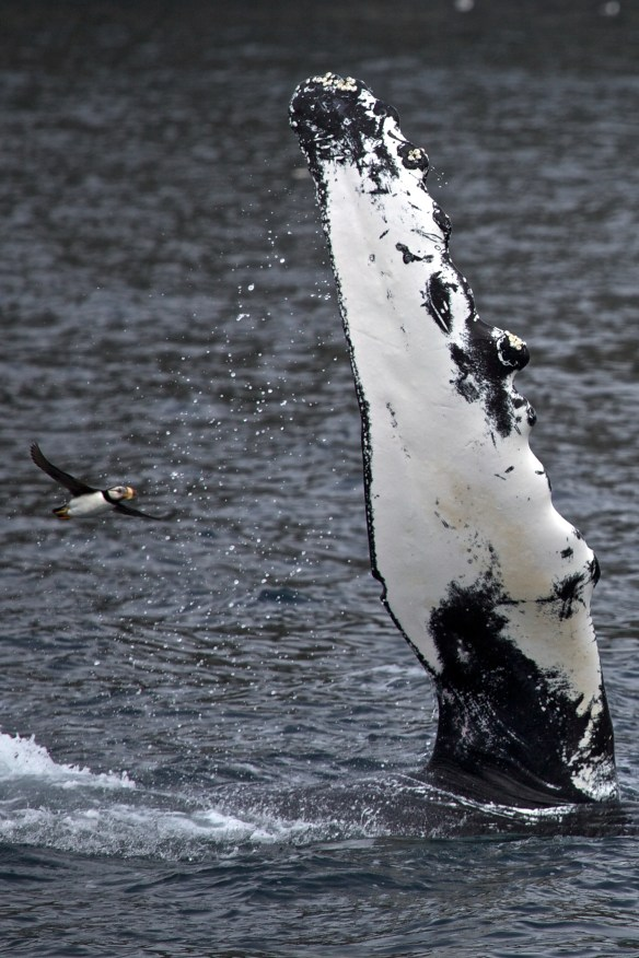A horned puffin flies next to a humpback whale's pectoral fin at Kenai Fjords National Park.