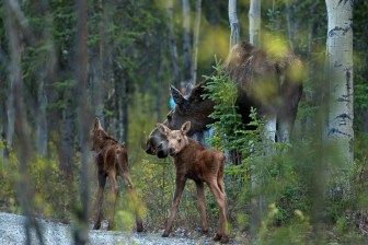 A moose and her calves forage for food at Denali National Park & Preserve.