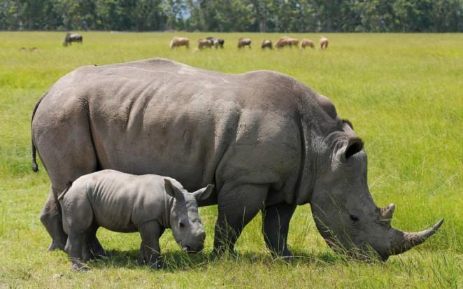 Javan Rhinoceros - ENDANGERED ANIMALS