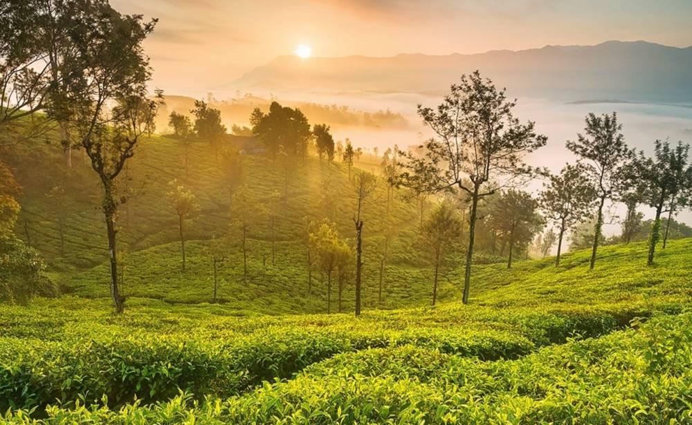 Tea_Gardens.jpg