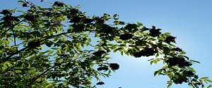 Черен бъз бъзак билка дърво