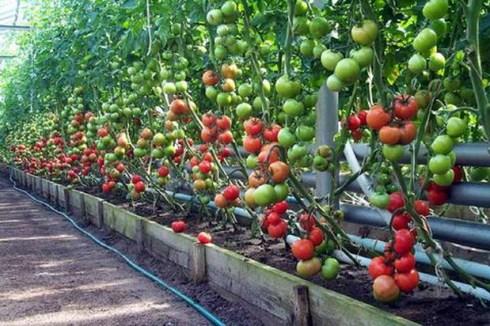 Как правильно выращивать томаты видео?