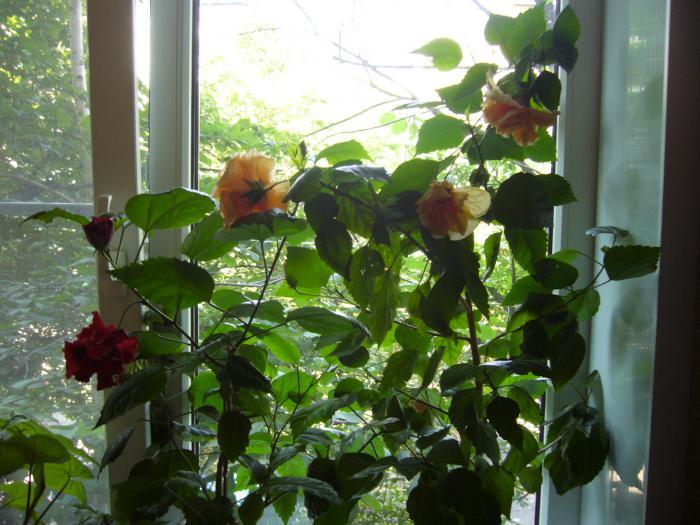 Обрезка китайской розы