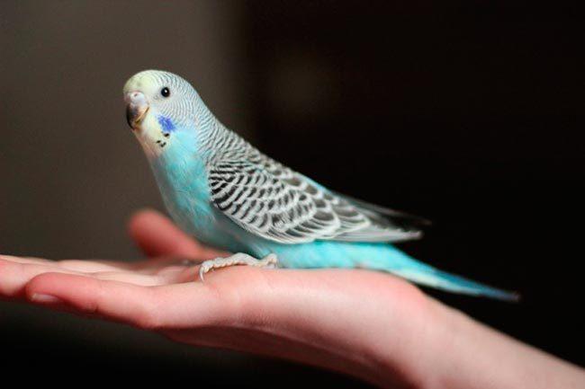 pierderea în greutate papagal)