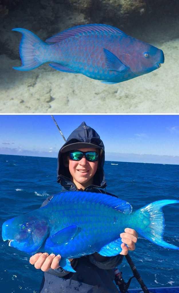 Рибата син папагал е странно и любопитно животно от Атлантическия океан, което попада в нашата Топ 10 класация.