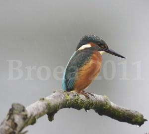 (c) Broea 2011