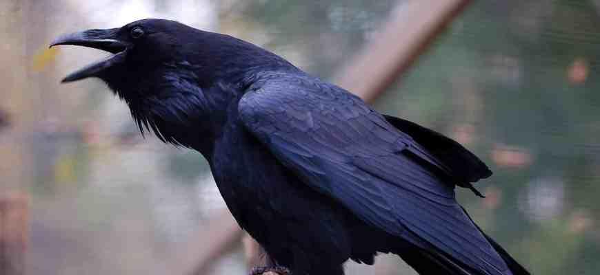 """Смысл песни """"Черный ворон"""", ее загадка и красота"""