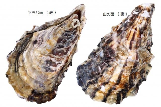 牡蠣の 表と裏