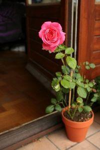 Как вырастить водяную розу