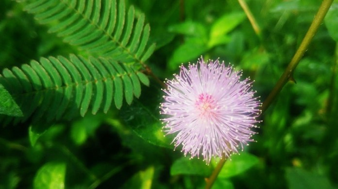 Sensitive Plant : Health Tips, Beauty Tips, Daily Health Tips, Tamil Maruthuvam Tips, Top 10 Best Health Benefits, Easy To Follow Daily Health Tips