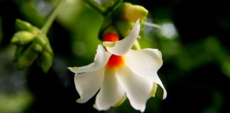 Is there a history of Night-flowering jasmine