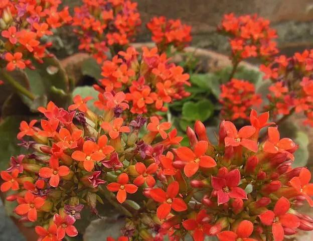 orange flowers kalanchoe blossfeldiana succulent