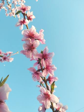 Sakura Cherry Blossoms. Photo by Nilfur Jabra.