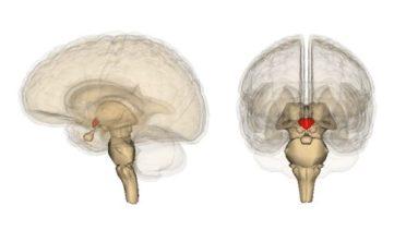 Hypothalamus location in brain. Published under CC from Wikimedia