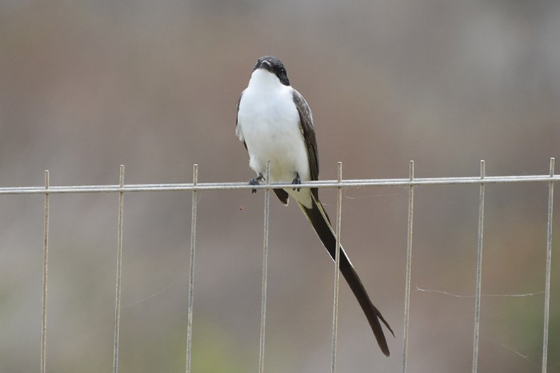 forktailed-flycatcher-looks-smug-on-fence-smaller