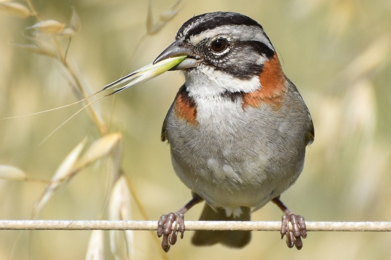 rufous-collared-sparrow-chows-on-plant-close-angle