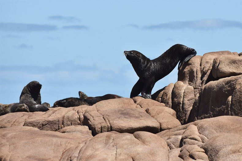 sealion-falls-off-rock-cabo-polonio-resized