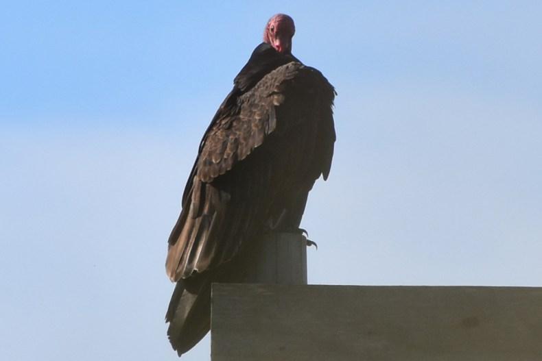 turkey-vulture-cloaked-jose-ignacio-for-blog