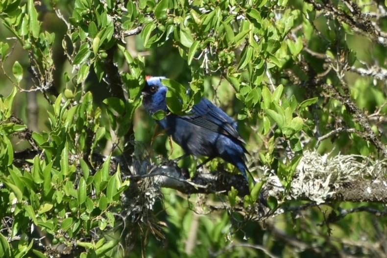 blue-bird-hiding-solis-de-mataojo