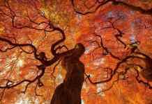 korona drzewa