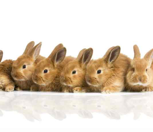 sześć beżowych królików