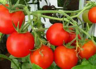 pomidory na krzaczku