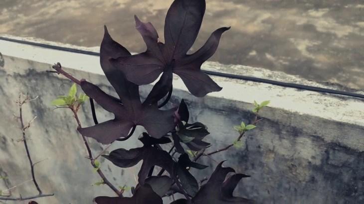 TheSweet Potato Vine Blackie − アフィリエイト動画まとめ