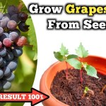 How to grow Grapes Vine from seeds // अंगूर का पौधा बीज से उगाऐ । − アフィリエイト動画まとめ