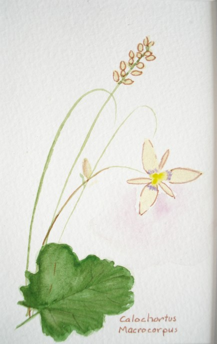 5 x 7 pencil Oregon wildflower