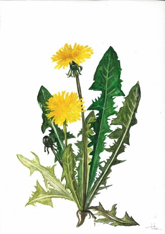 Dandelion, watercolor, Ka L-O-K