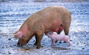 kød, grise
