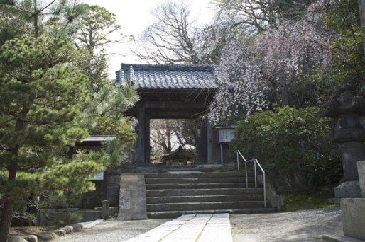 安国論寺。山門の右手に枝垂桜があります。