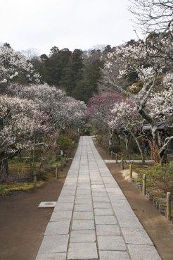 山門から本堂へと続く参道は梅の道となります。