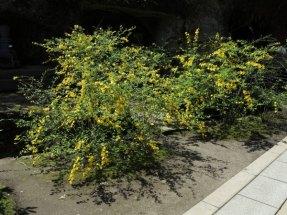 海蔵寺の山吹(ヤマブキ)4月上旬〜5月まで鮮やかな山吹色の花が咲きます。