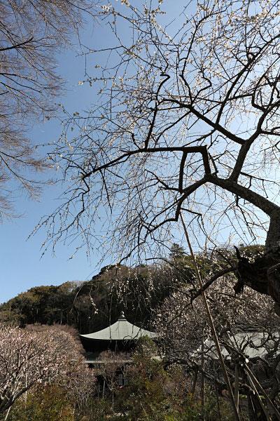 まるで水墨画のような枝垂梅の幹。枝垂梅は垂れ下がる枝と花の美しさだけでなく、この幹の様がたまりません。