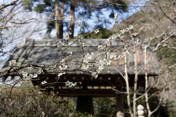 瑞泉寺、梵鐘付近の梅