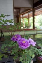 浄妙寺、喜泉庵の牡丹。