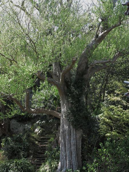 英勝寺の唐楓(トウカエデ)。鎌倉市の指定天然記念物です。唐楓はカエデ科の落葉小高木。江戸時代に中国から渡来しました。