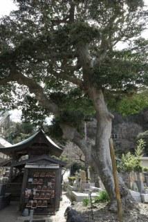光明寺、梵鐘の近くにある黒鉄黐(クロガネモチ)。鎌倉市天然記念物、かまくらと三浦半島の古木・名木50選に選ばれています。
