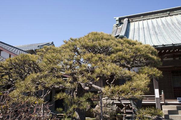 本堂前には美しく剪定された松。