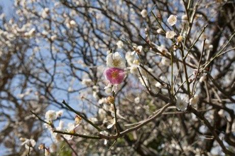 白梅のとなりに桃色の花が咲く様はとても不思議。