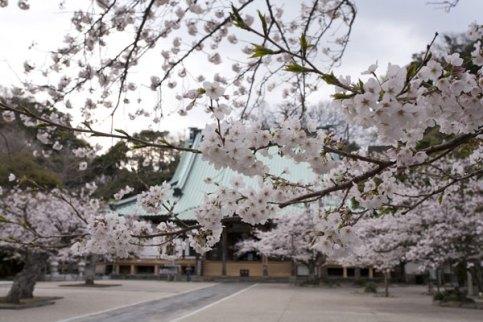 元禄からそのまま残る、鎌倉最大級の木造建築「大殿」をバックに桜が咲き誇ります。