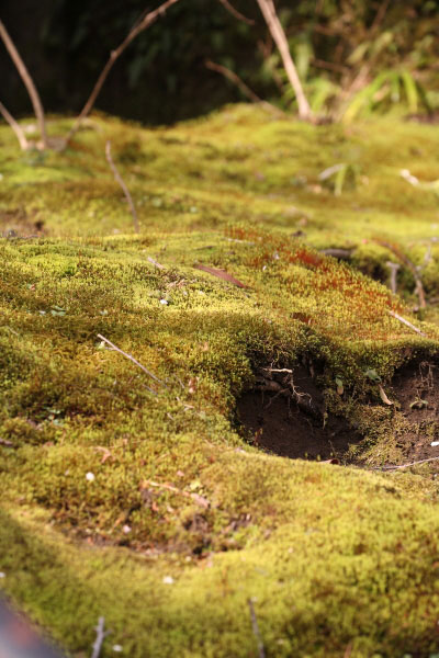 見事な梅ばかり見た後は苔でも見て心を落ち着かせて。