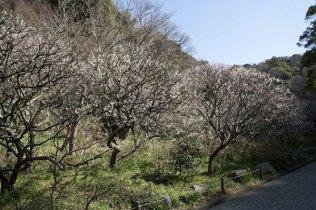 受付を入ってすぐ左手、数十本の梅が咲きます。中を歩くことができます。