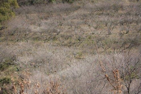 丘陵を覆う梅の木。
