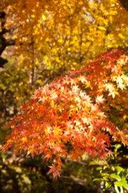 行き来する紅と橙色の紅葉に陽射しが射していました。