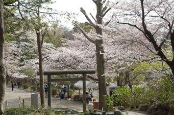 春には葛原岡神社周辺から源氏山公園まで桜が咲き誇ります。