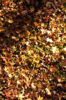 足下を見れば落葉の絨毯です。