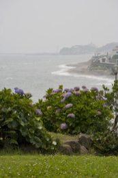 稲村ケ崎海浜公園のあじさい。やや小ぶりですが一番海に近いあじさい。奥に小動岬が見えています。